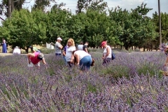 LAVENDER FESTIVAL_PAINT OUT_10